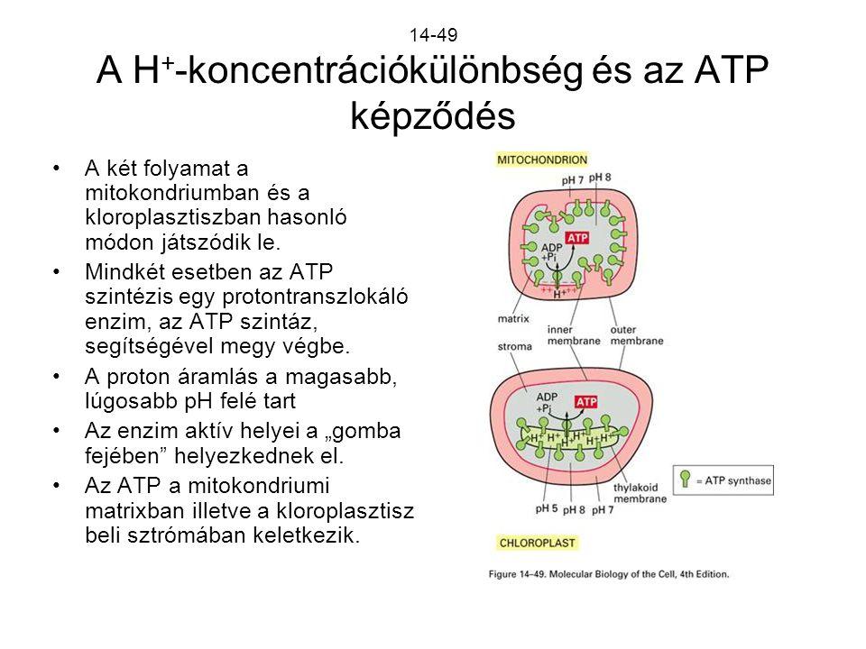 14-49 A H+-koncentrációkülönbség és az ATP képződés