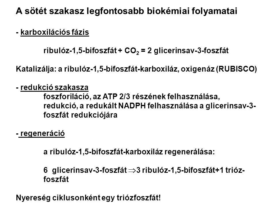 A sötét szakasz legfontosabb biokémiai folyamatai