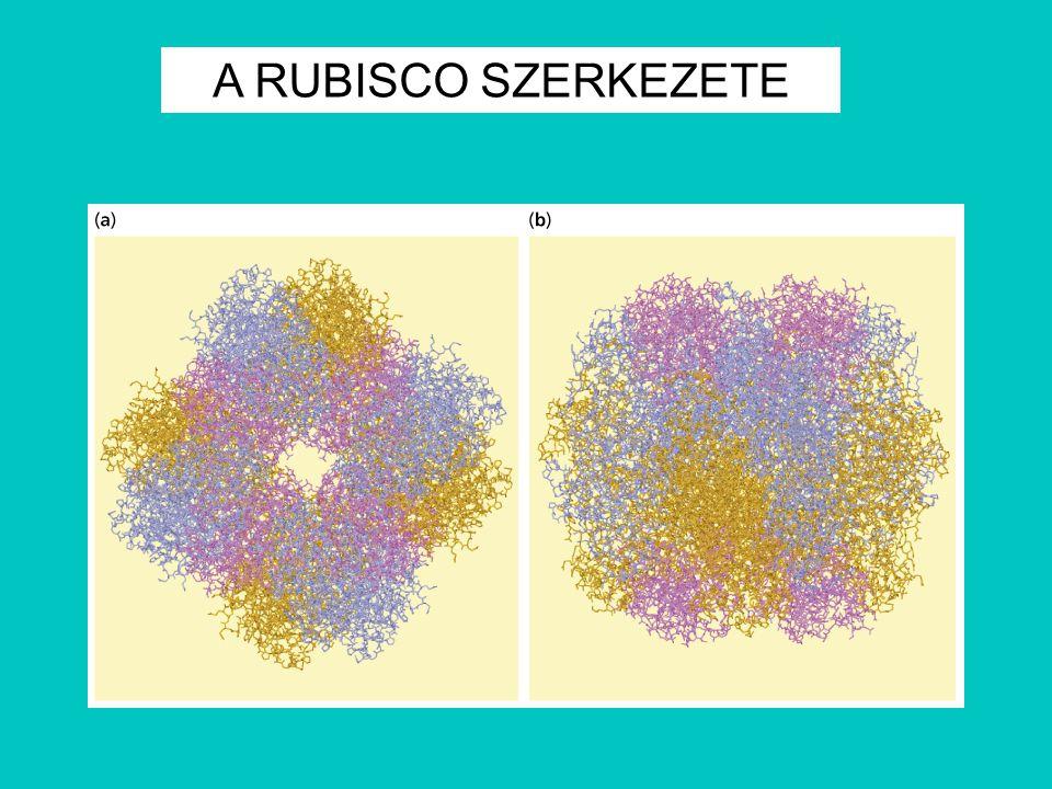 A RUBISCO SZERKEZETE