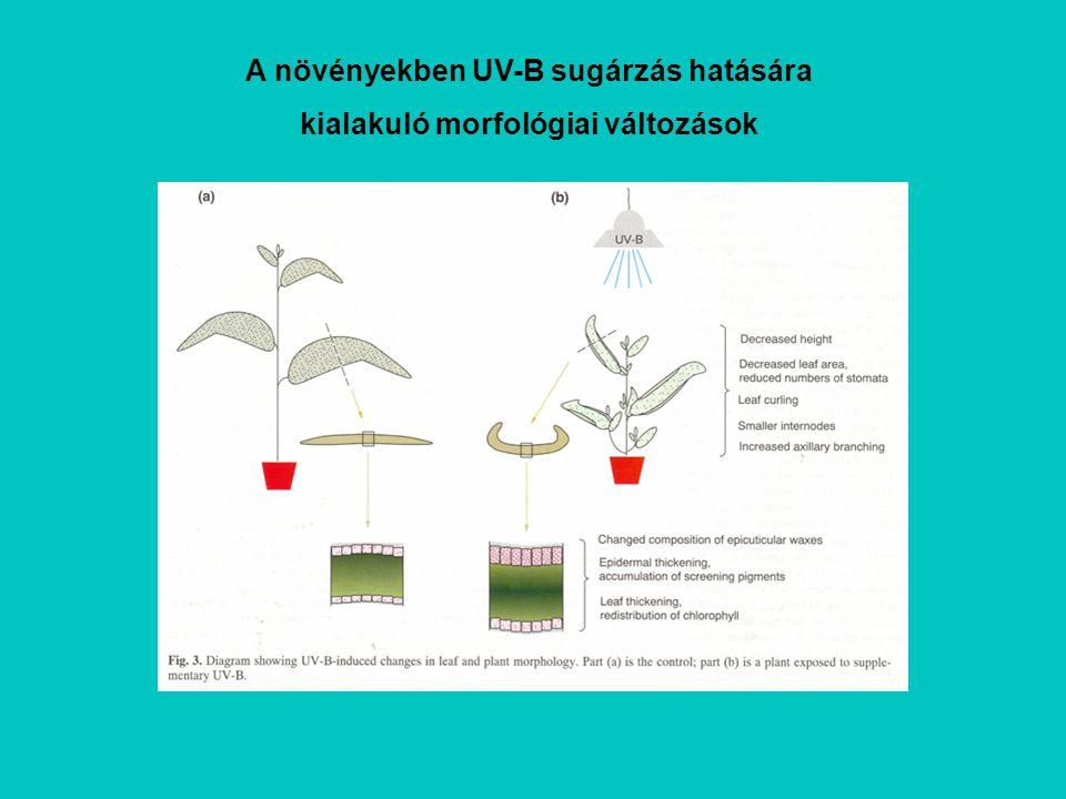 A növényekben UV-B sugárzás hatására kialakuló morfológiai változások