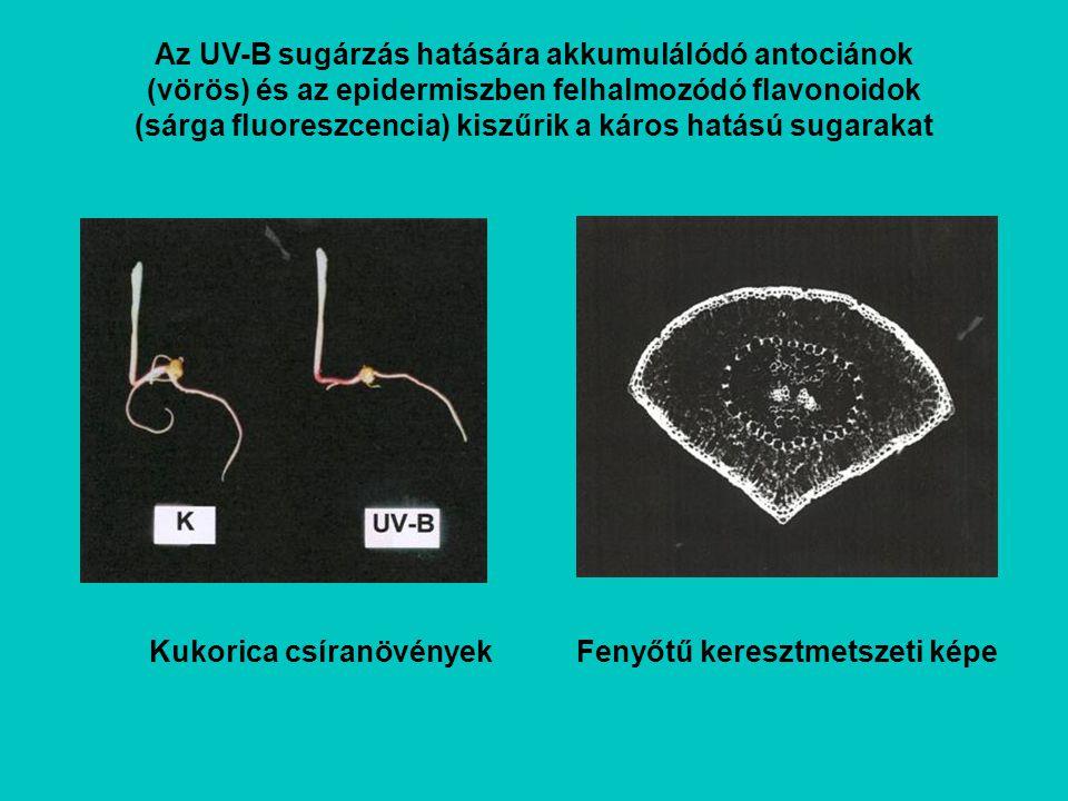Az UV-B sugárzás hatására akkumulálódó antociánok (vörös) és az epidermiszben felhalmozódó flavonoidok (sárga fluoreszcencia) kiszűrik a káros hatású sugarakat