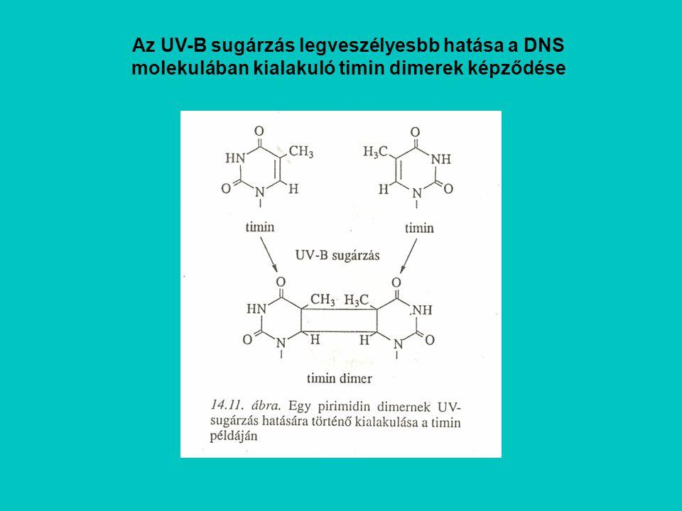 Az UV-B sugárzás legveszélyesbb hatása a DNS molekulában kialakuló timin dimerek képződése