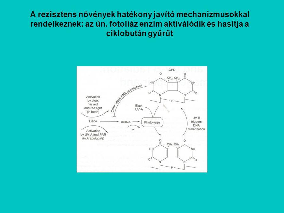 A rezisztens növények hatékony javító mechanizmusokkal rendelkeznek: az ún.
