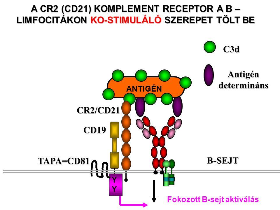 Antigén determináns. C3d. A CR2 (CD21) KOMPLEMENT RECEPTOR A B – LIMFOCITÁKON KO-STIMULÁLÓ SZEREPET TÖLT BE.