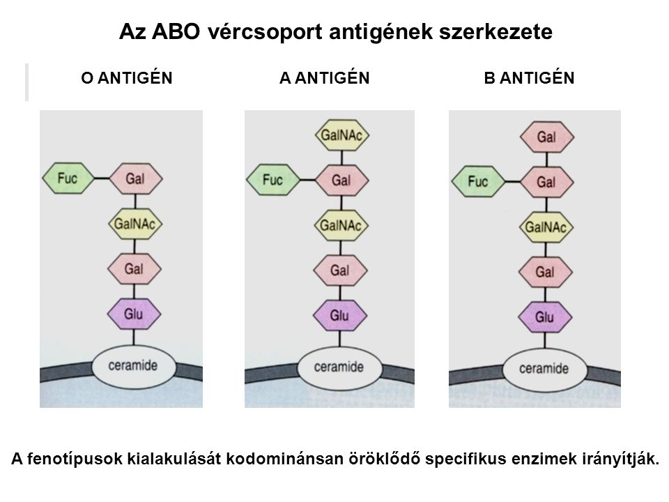 Az ABO vércsoport antigének szerkezete