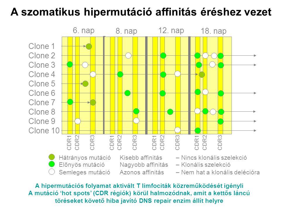 A hipermutációs folyamat aktivált T limfociták közreműködését igényli