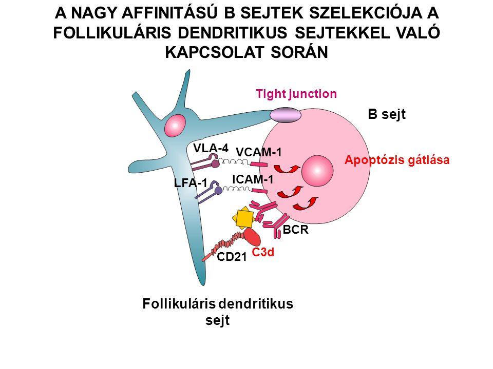 Follikuláris dendritikus sejt