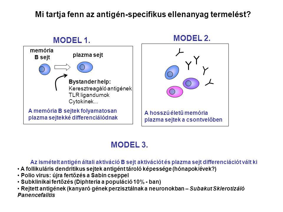 Mi tartja fenn az antigén-specifikus ellenanyag termelést