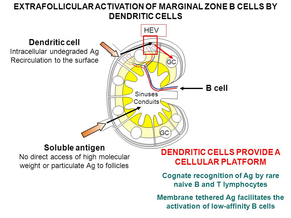 EXTRAFOLLICULAR ACTIVATION OF MARGINAL ZONE B CELLS BY DENDRITIC CELLS