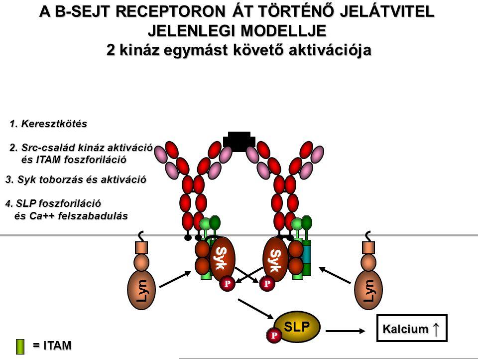 A B-SEJT RECEPTORON ÁT TÖRTÉNŐ JELÁTVITEL JELENLEGI MODELLJE 2 kináz egymást követő aktivációja