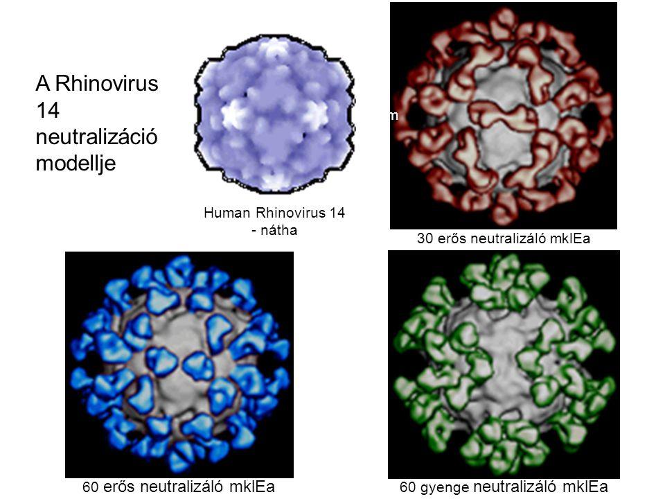 A Rhinovirus 14 neutralizáció modellje