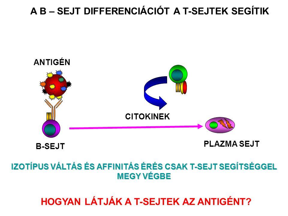 A B – SEJT DIFFERENCIÁCIÓT A T-SEJTEK SEGÍTIK