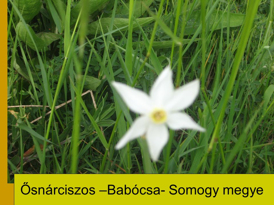 Ősnárciszos –Babócsa- Somogy megye