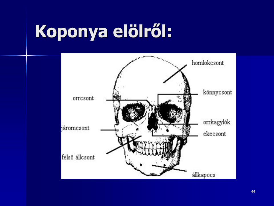 Koponya elölről: