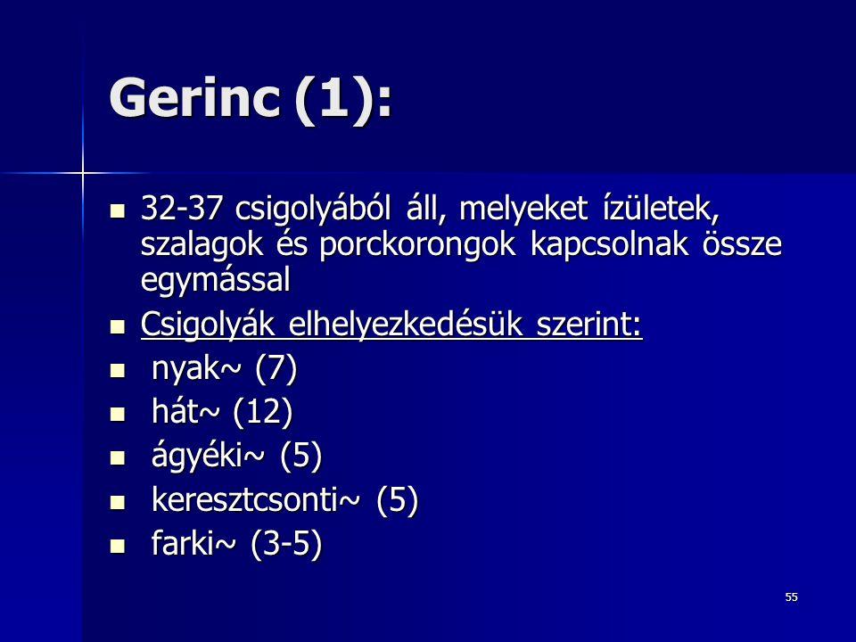 Gerinc (1): 32-37 csigolyából áll, melyeket ízületek, szalagok és porckorongok kapcsolnak össze egymással.