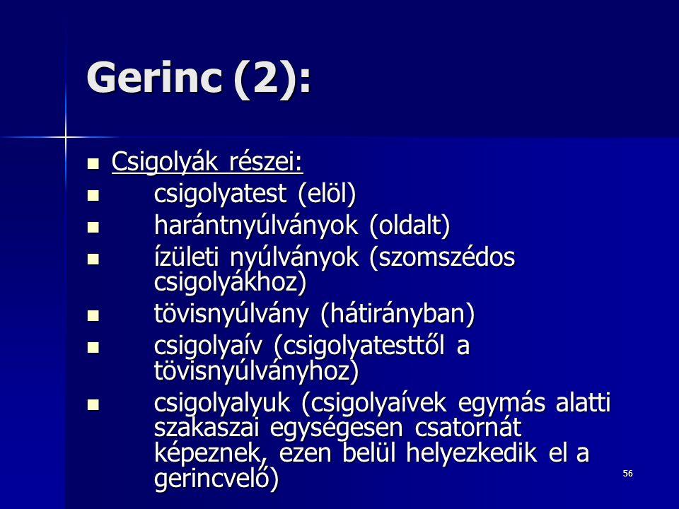 Gerinc (2): Csigolyák részei: csigolyatest (elöl)