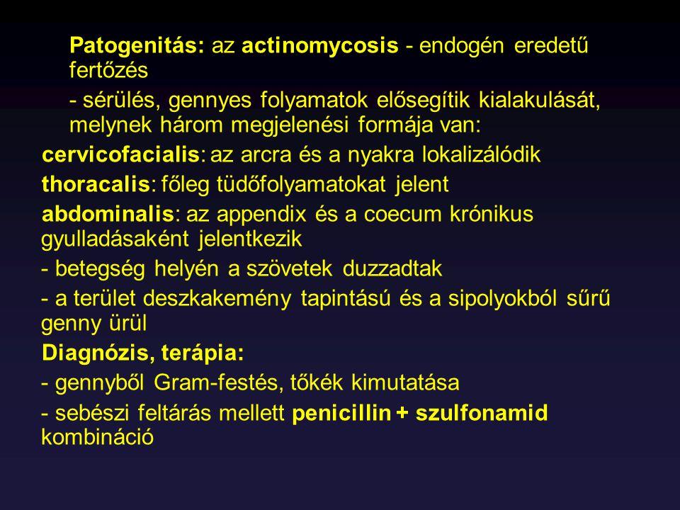 Patogenitás: az actinomycosis - endogén eredetű fertőzés