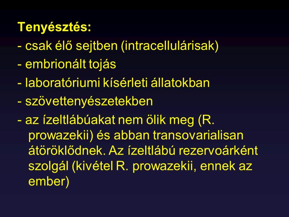 Tenyésztés: - csak élő sejtben (intracellulárisak) - embrionált tojás. - laboratóriumi kísérleti állatokban.