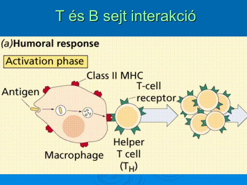 T és B sejt interakció