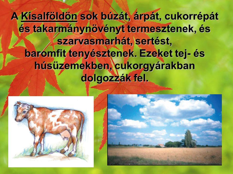 A Kisalföldön sok búzát, árpát, cukorrépát és takarmánynövényt termesztenek, és szarvasmarhát, sertést,