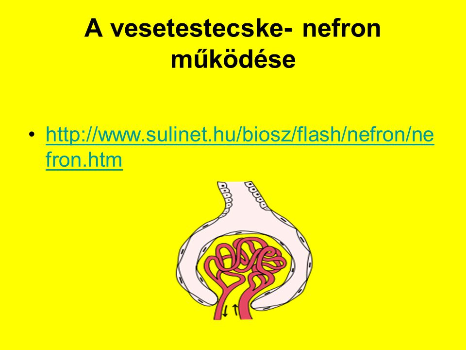 A vesetestecske- nefron működése