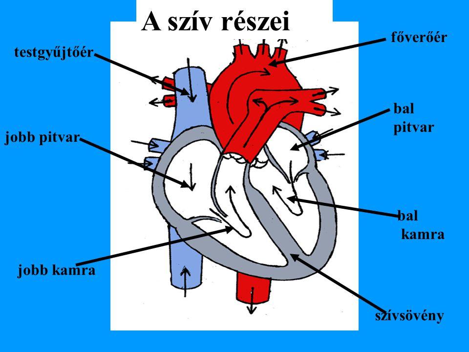A szív részei főverőér testgyűjtőér bal pitvar jobb pitvar bal kamra