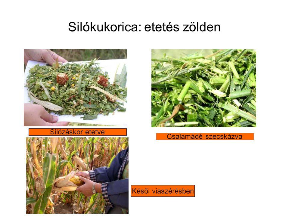 Silókukorica: etetés zölden