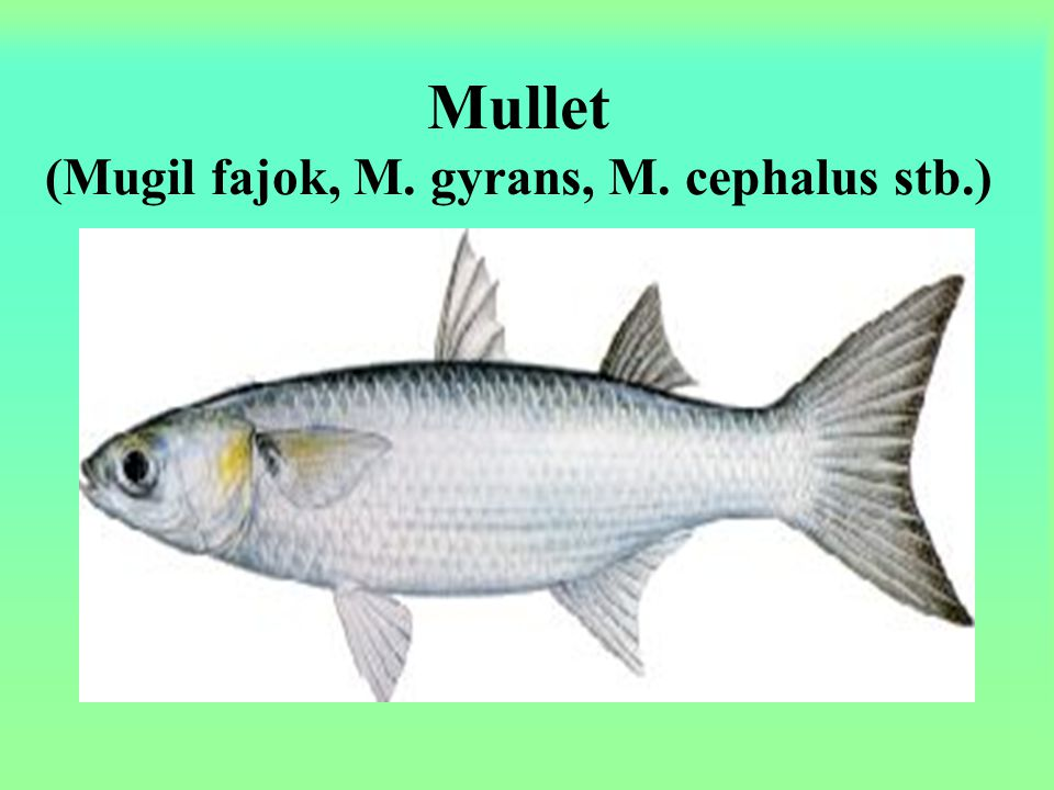 Mullet (Mugil fajok, M. gyrans, M. cephalus stb.)