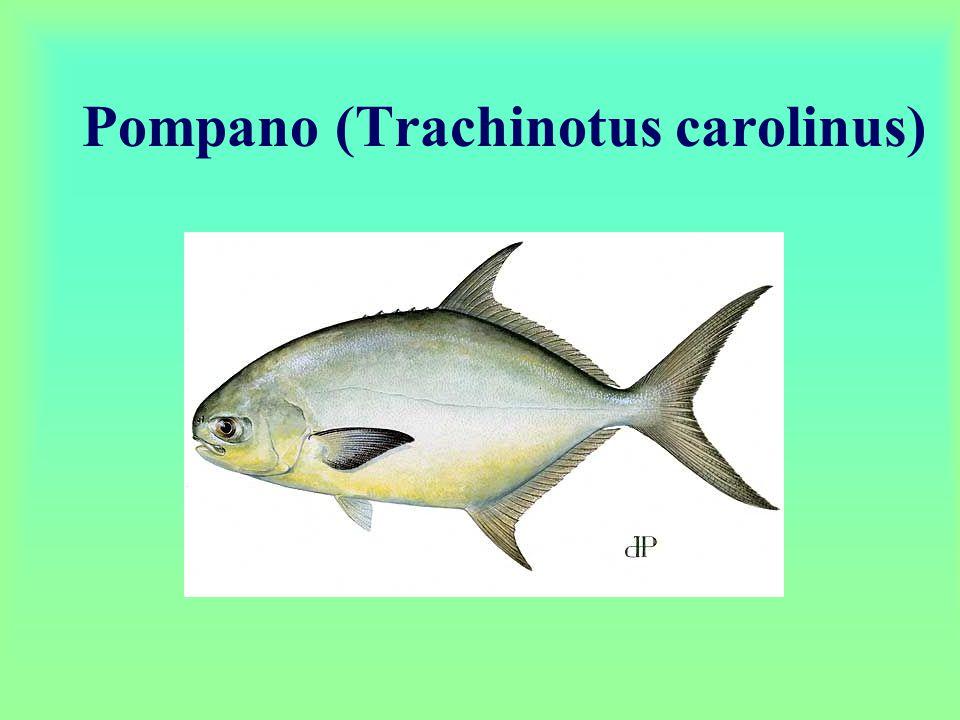 Pompano (Trachinotus carolinus)