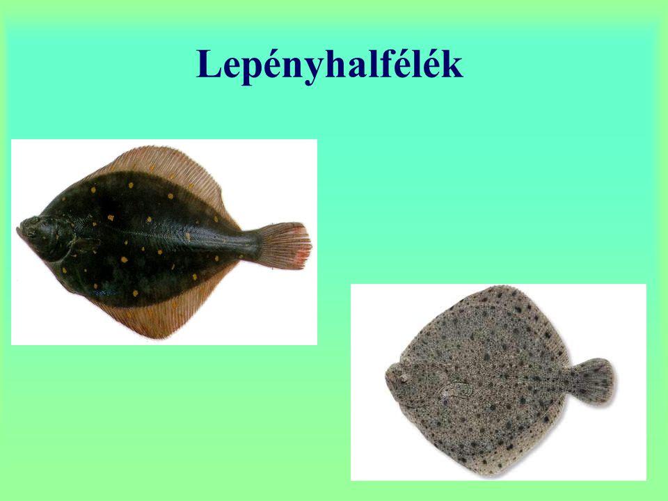 Lepényhalfélék