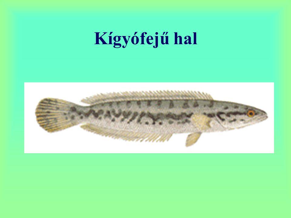 Kígyófejű hal