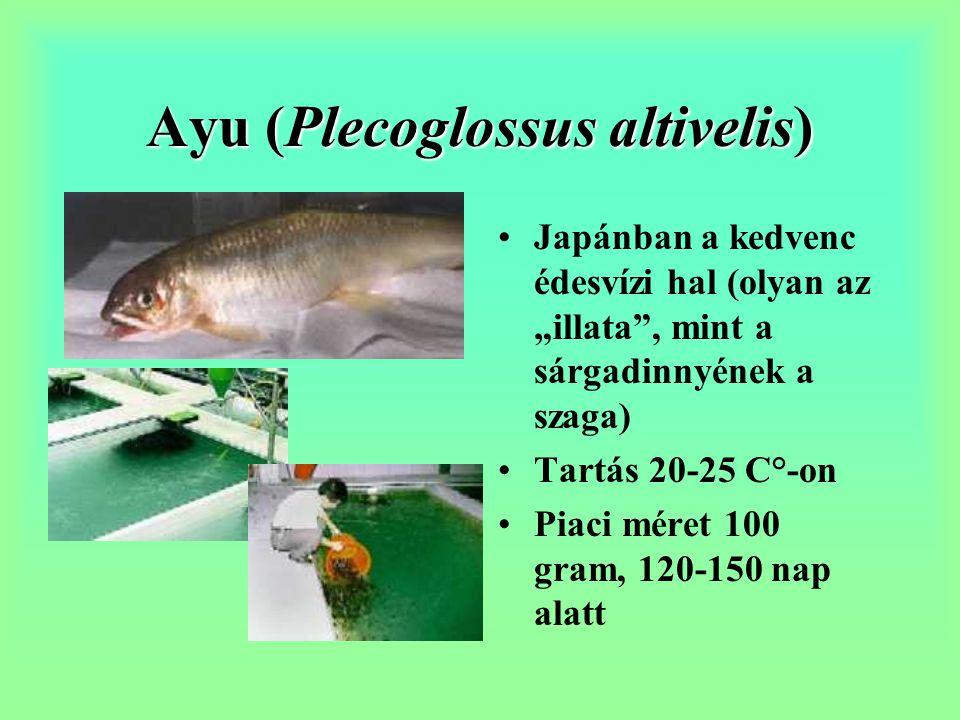 Ayu (Plecoglossus altivelis)