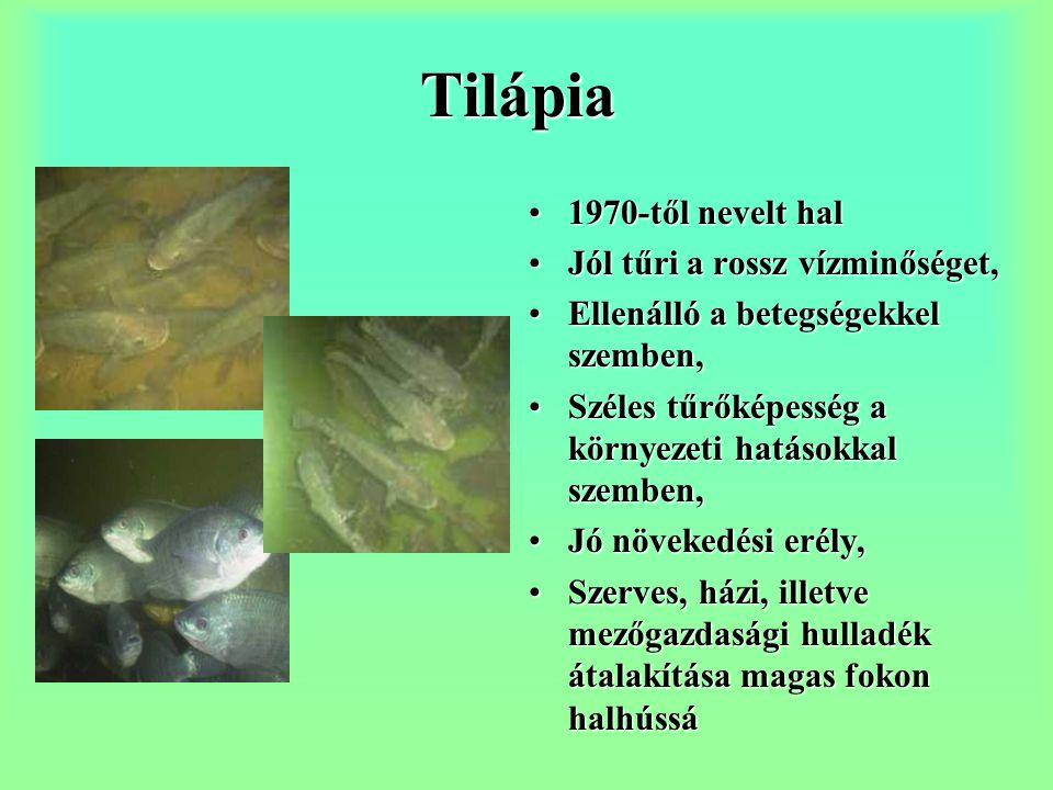 Tilápia 1970-től nevelt hal Jól tűri a rossz vízminőséget,