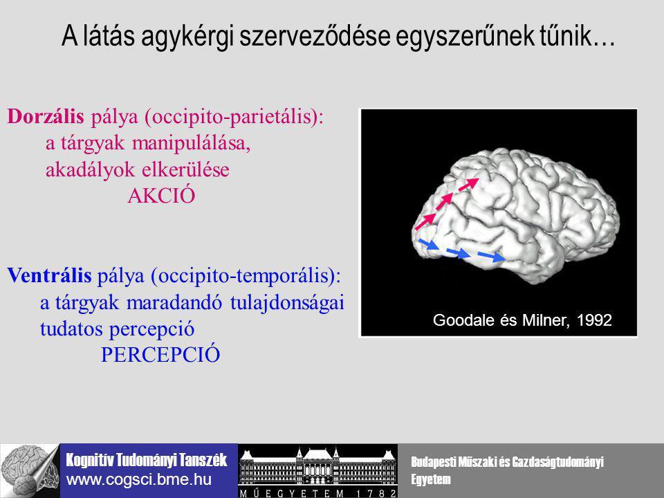 A látás agykérgi szerveződése egyszerűnek tűnik…
