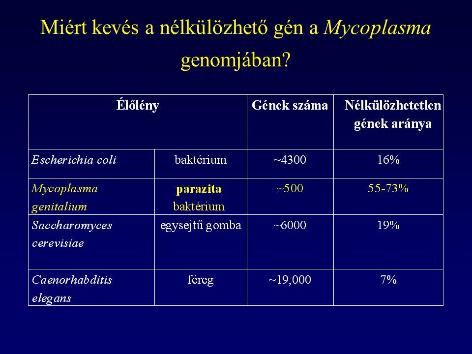 Miért kevés a nélkülözhető gén a Mycoplasma genomjában