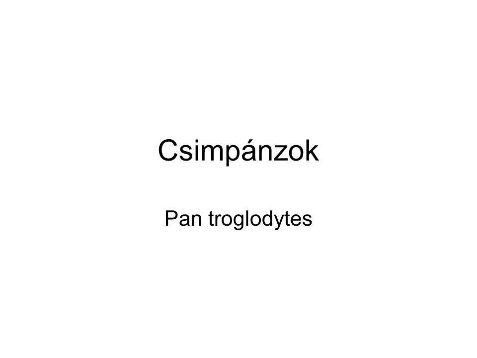 Csimpánzok Pan troglodytes
