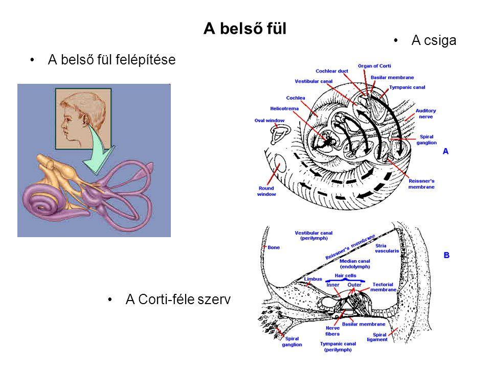 A belső fül A csiga A belső fül felépítése A Corti-féle szerv