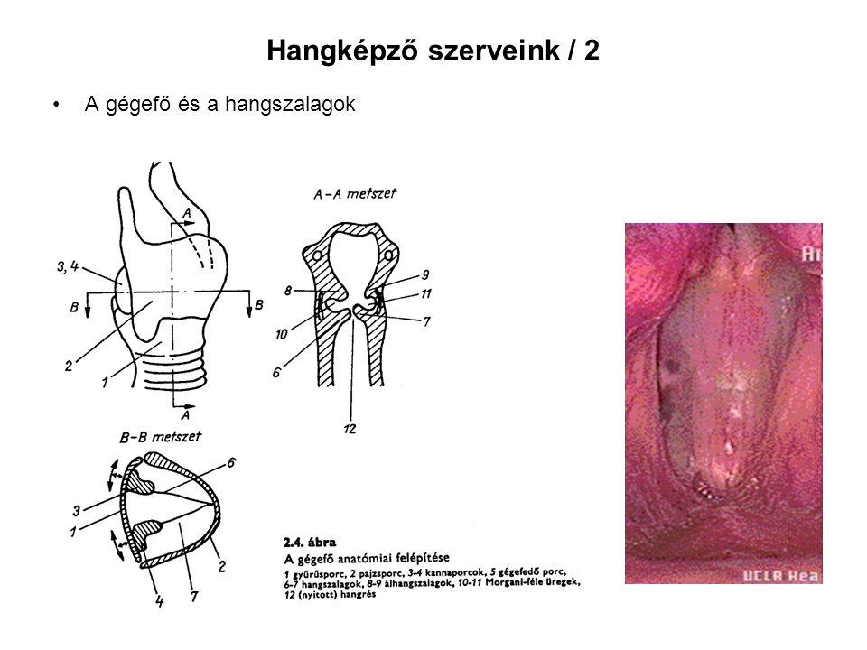 Hangképző szerveink / 2 A gégefő és a hangszalagok