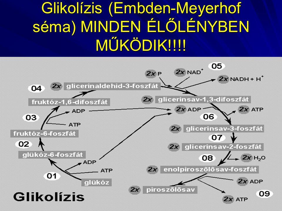 Glikolízis (Embden-Meyerhof séma) MINDEN ÉLŐLÉNYBEN MŰKÖDIK!!!!