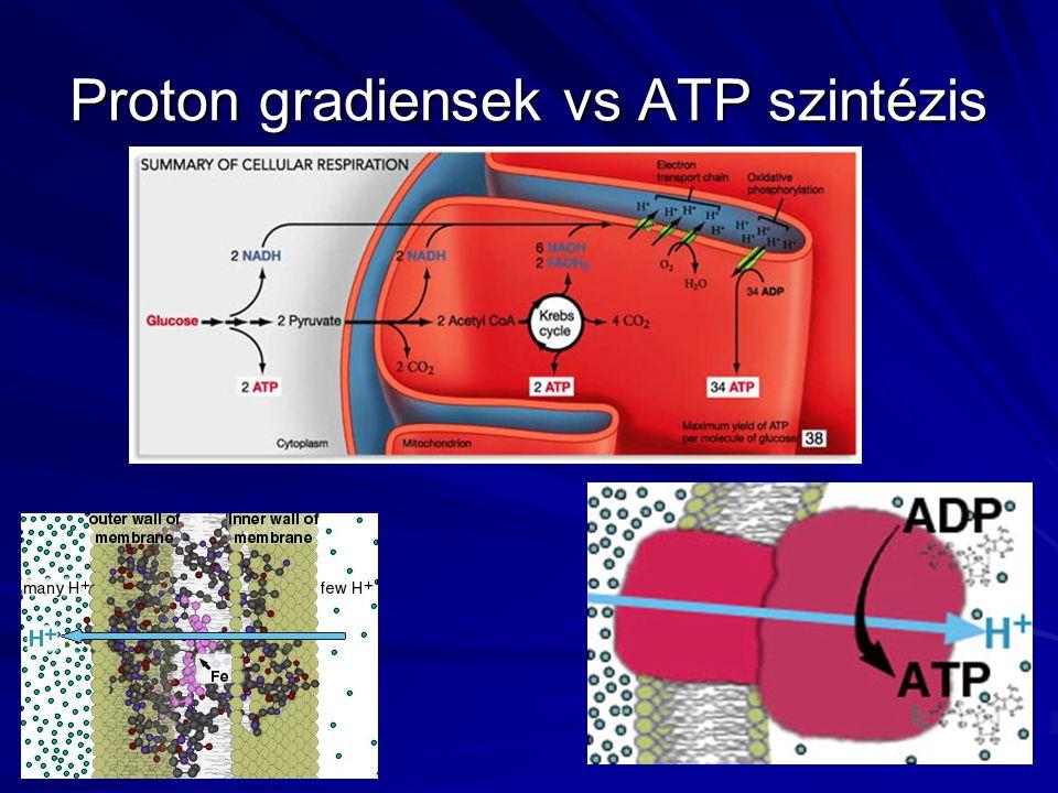 Proton gradiensek vs ATP szintézis