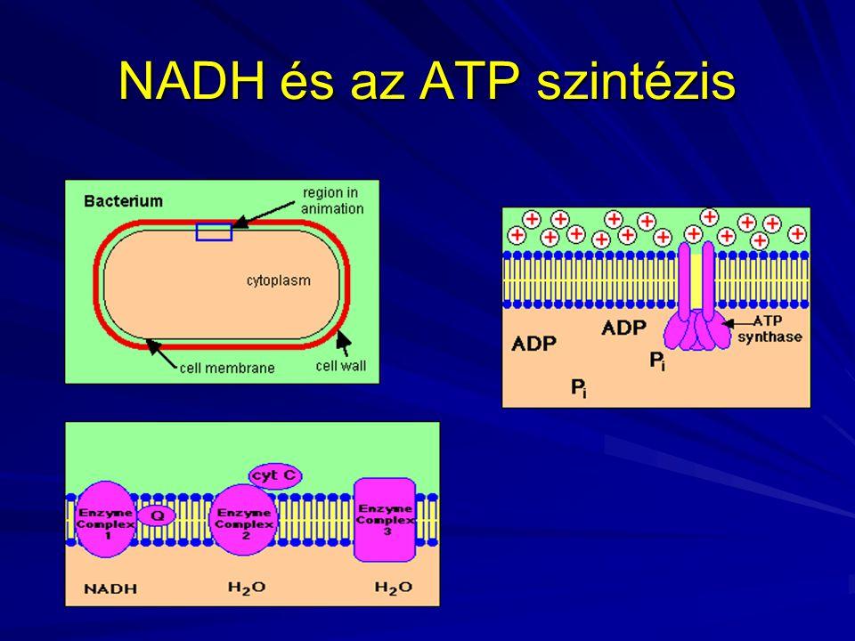 NADH és az ATP szintézis