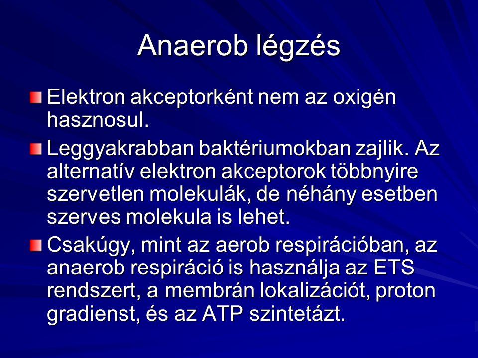 Anaerob légzés Elektron akceptorként nem az oxigén hasznosul.