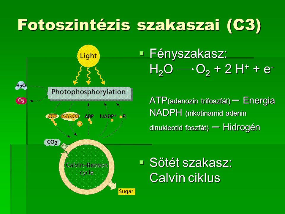 Fotoszintézis szakaszai (C3)