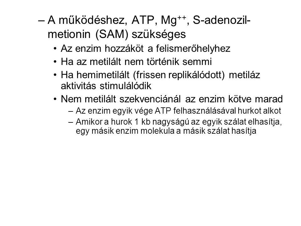 A működéshez, ATP, Mg++, S-adenozil-metionin (SAM) szükséges