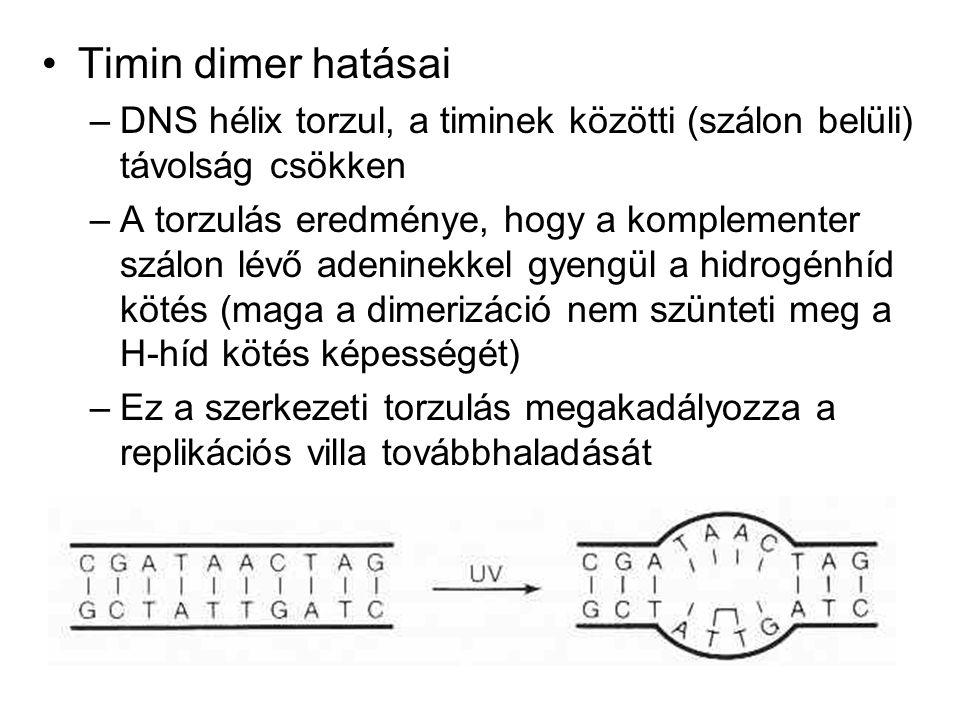 Timin dimer hatásai DNS hélix torzul, a timinek közötti (szálon belüli) távolság csökken.