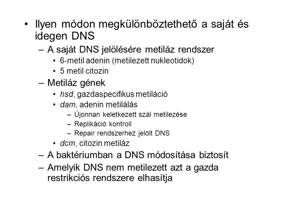 Ilyen módon megkülönböztethető a saját és idegen DNS