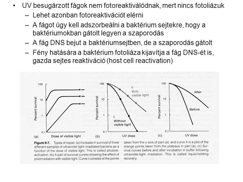 UV besugárzott fágok nem fotoreaktiválódnak, mert nincs fotoliázuk