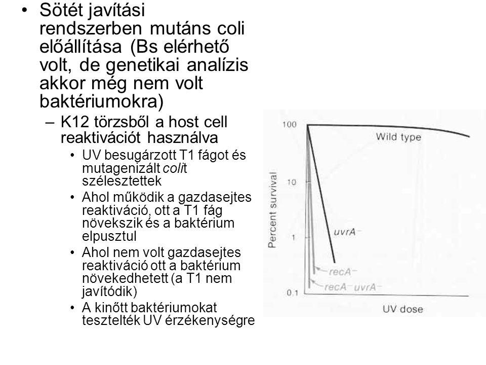 Sötét javítási rendszerben mutáns coli előállítása (Bs elérhető volt, de genetikai analízis akkor még nem volt baktériumokra)