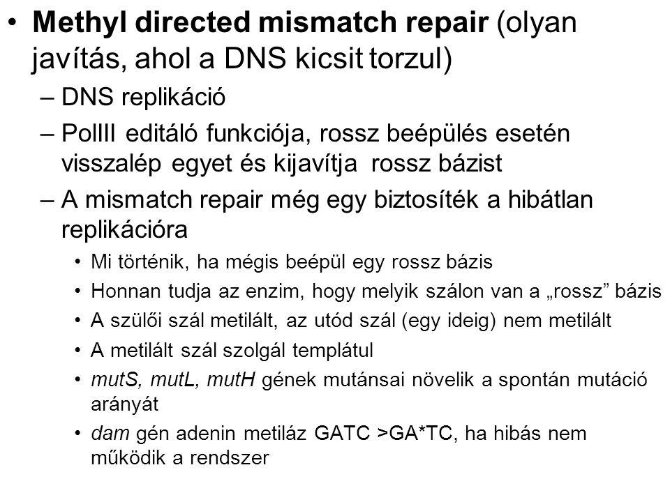 Methyl directed mismatch repair (olyan javítás, ahol a DNS kicsit torzul)