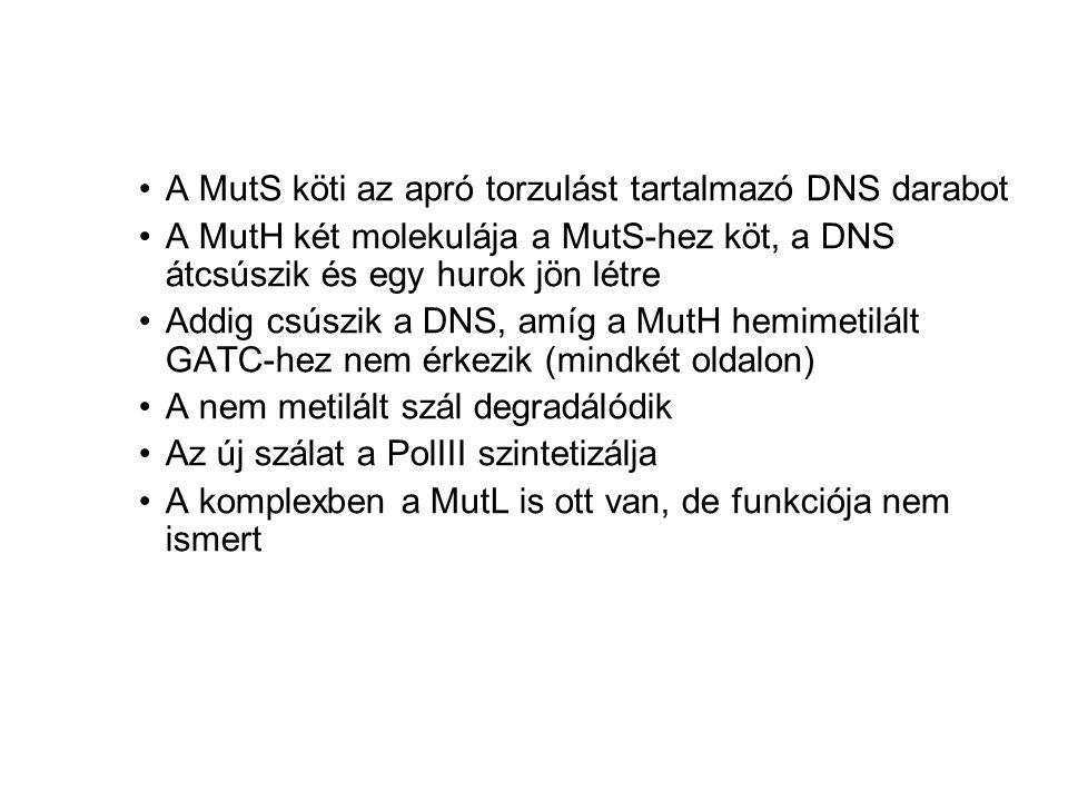 A MutS köti az apró torzulást tartalmazó DNS darabot
